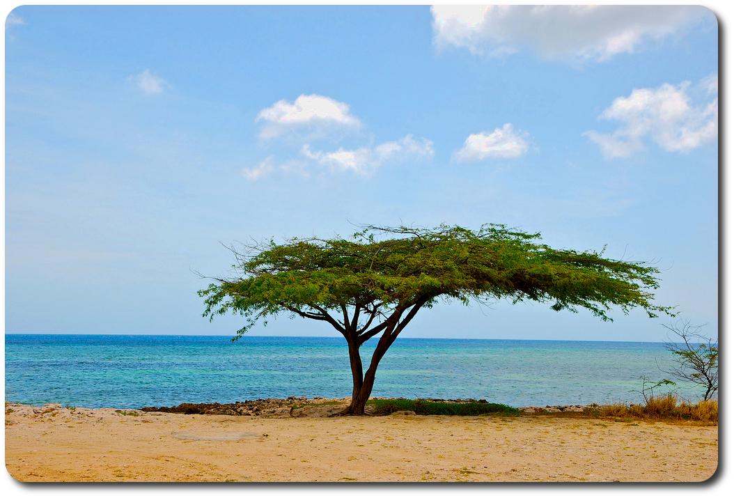 aruba beach tree