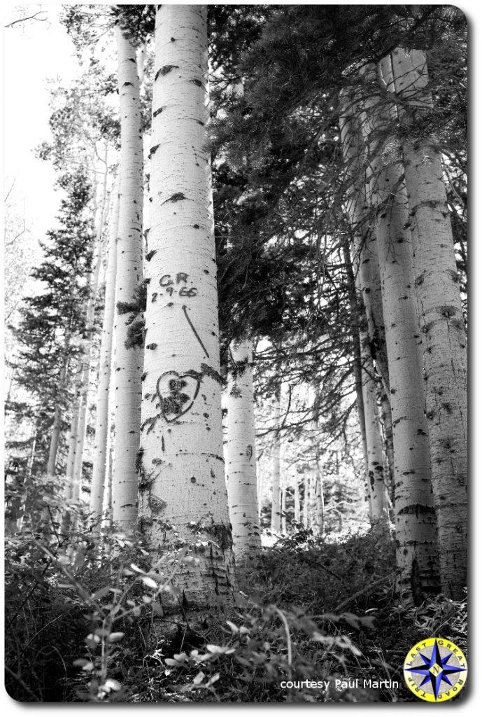 mountain aspin trees